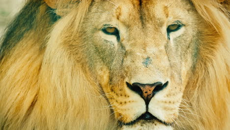 Portrait-Of-A-Formidable-Male-Lion