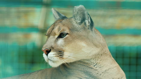 Portrait-Of-A-Cougar-Behind-The-Aviary