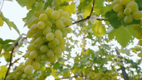 The-Sun-Shines-On-Juicy-Bunches-Of-Grapes-Ripe-Grapes-Before-Harvest