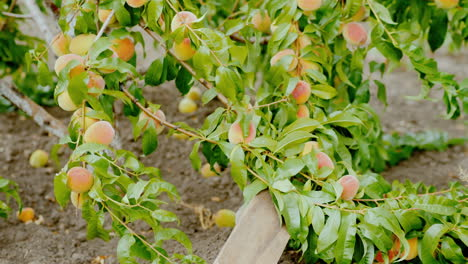 A-Tree-Branch-Bent-Under-The-Weight-Of-Ripe-Peaches