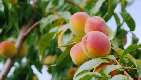 Several-Juicy-Peaches-Ripen-On-A-Tree