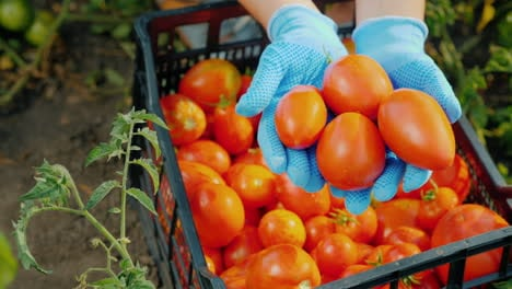 Farmer-s-Hands-Are-Holding-Several-Ripe-Tomatoes-In-The-Garden-Harvesting-Vegetables
