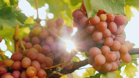 The-Rays-Of-The-Sun-Shine-Through-The-Juicy-Bunches-Of-Ripe-Grapes