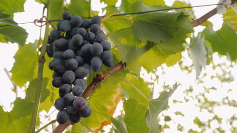 Grono-Of-Dark-Grapes-Ripening-In-The-Sun