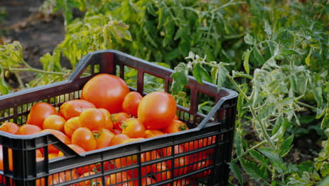 Fresh-Vegetables-In-The-Garden---A-Box-With-Tomatoes-Among-The-Branches-Of-Tomatoes
