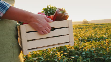 The-Farmer-Is-Carrying-A-Wooden-Box-With-Fresh-Vegetables-Goes-Along-The-Field-At-Sunset-Fresh-Veget