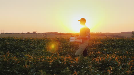 A-Young-Farmer-With-A-Box-Of-Vegetables-Walks-The-Field-At-Sunset-Steadicam-Shot