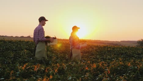 A-Pair-Of-Farmers-Carry-Boxes-Of-Vegetables-Across-The-Field-Harvesting-On-A-Family-Farm-Organic-Far