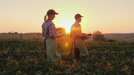 Two-Farmers-Man-And-Woman-Are-Walking-Along-The-Field-Carrying-Boxes-With-Fresh-Vegetables-Organic-F