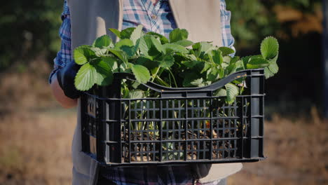 The-Farmer-Holds-A-Basket-With-Strawberry-Seedlings