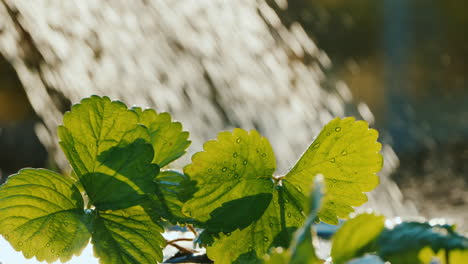 Water-The-Strawberry-Sprouts-Water-Drops-Fall-On-The-Green-Leaves