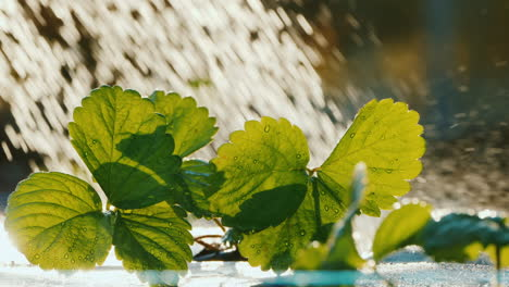 Summer-Farm-Work---Strawberry-Shoots-Are-Watered-From-A-Watering-Can
