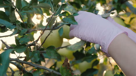 Farmer-s-Hands-Pluck-Apples-From-Branches-In-The-Sun-s-Rays