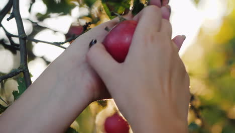 Female-Hands-Pluck-A-Beautiful-Red-Apple-From-A-Branch