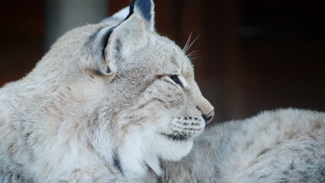 Portrait-Of-A-Cougar-Face-Of-A-Predatory-Cat