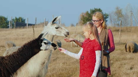 Woman-With-Baby-Give-Treats-To-White-And-Black-Alpaca