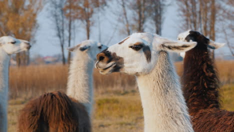 A-Few-Cute-Alpacas-On-The-Farm