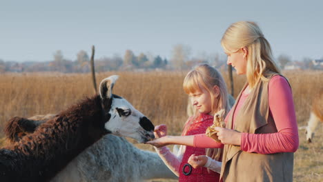 Active-Weekend-With-A-Child---Mom-And-Daughter-Feed-Alpaca-On-The-Farm