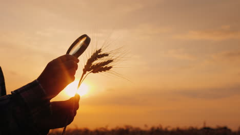 The-Silhouette-Of-The-Farmer-s-Hands-Looks-At-The-Ears-Of-Wheat-Through-A-Magnifying-Glass