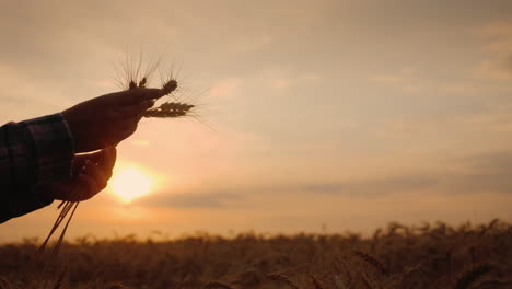 Farmer-Hands-With-Wheat-Ears-At-Sunset