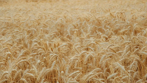 The-Wind-Swaying-The-Field-Of-Ripe-Wheat-4k-Video