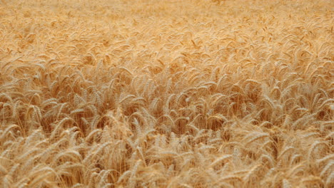 Ears-Of-Wheat-Sway-In-The-Wind-In-The-Field-Ready-To-Harvest