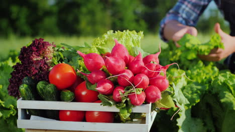 A-Farmer-Harvests-Vegetables-In-His-Garden-A-Box-In-The-Foreground