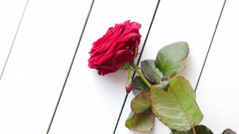 Fresh-red-rose-flower-on-the-white-wooden-table