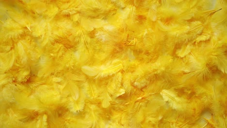 Yellow-feathers-background-Flat-lay-