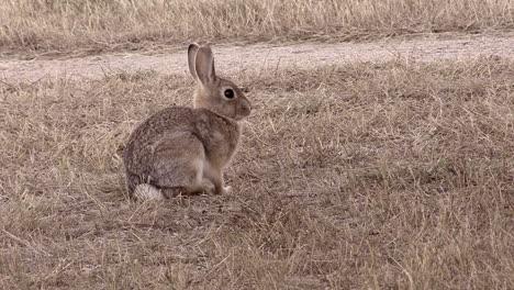 Nebraska-rabbit
