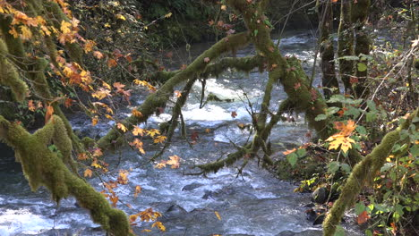 Autumn-maple-leaves-and-branches-over-stream