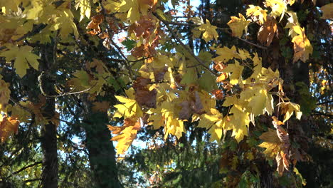 Autumn-yellow-maple-leaves-in-breeze