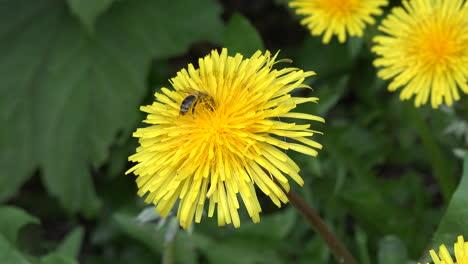 Bee-feeds-on-dandelion