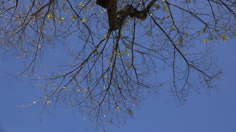 Branches-against-vivid-blue-sky-with-a-few-leaves