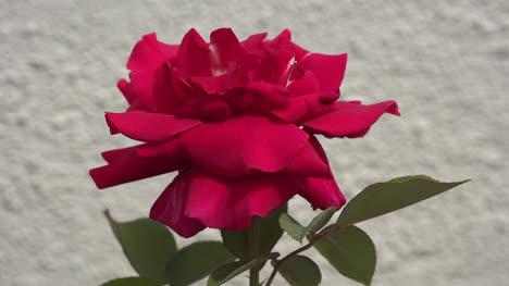 Leuchtend-Rote-Rose