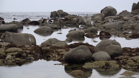 California-gulls-and-rocks-at-low-tide