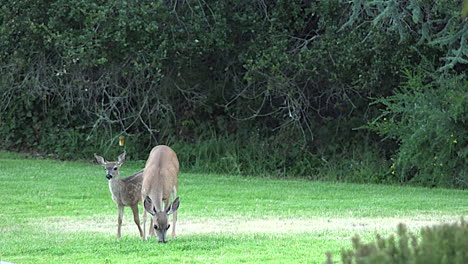California-mama-and-baby-deer