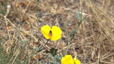 Kalifornische-Mohnblumen-Mit-Insekt-Das-Wegfliegt