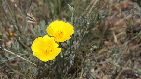 Kalifornien-Hübsche-Gelbe-Mohnblumen