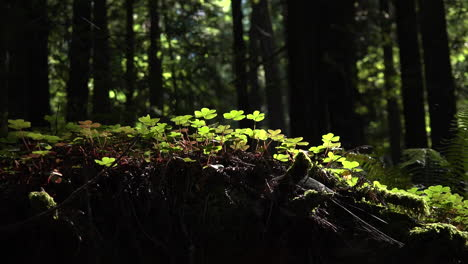 California-redwood-sorrel-zooms-out-to-forest-grove