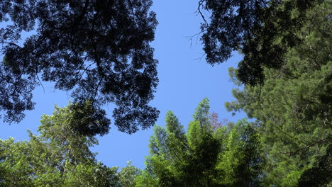 California-redwood-treetops-and-blue-sky-zooms-out