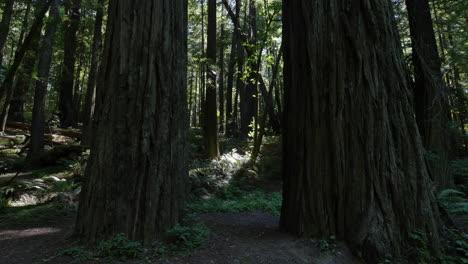 Bosque-Oscuro-De-Secuoyas-De-California