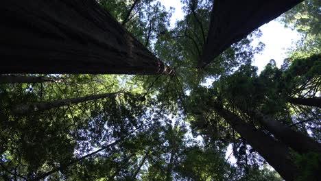 Secuoyas-De-California-Mirando-Hacia-Arriba-Y-Haciendo-Zoom