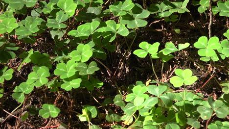 Secuoyas-De-California-Plantas-Oxalis