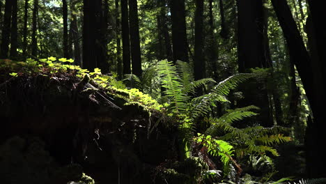 California-redwoods-sun-on-ferns-zooms-in