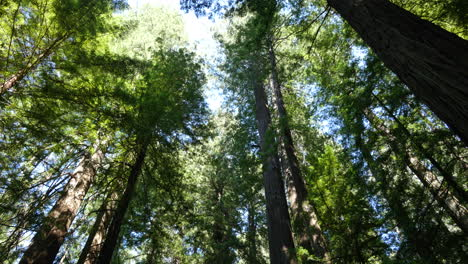 California-redwood-treetops-in-sun