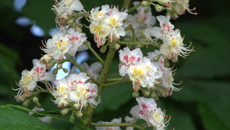 Chestnut-flowers-close-up
