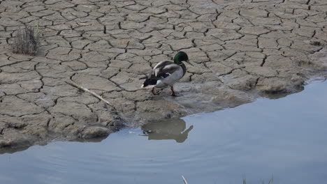 Germany-male-duck-on-mud-flat-slow-motion