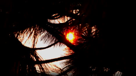 Glowing-sun-shines-through-pine-needles-zooms-out-dark-vision