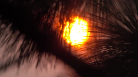 Glowing-sun-shines-through-pine-needles-zooms-out